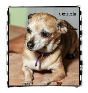 Chihuahua Dog for adoption in Warren, Pennsylvania - Consuela