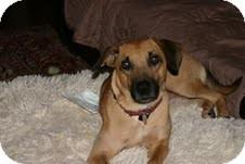 Black Mouth Cur/Labrador Retriever Mix Dog for adoption in Marietta, Georgia - Frankie