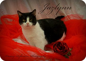 Domestic Shorthair Cat for adoption in Douglas, Wyoming - Jazzlynn