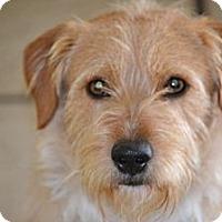 Adopt A Pet :: Benji- I am a people dog! - Redondo Beach, CA
