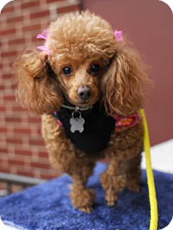 Poodle (Miniature) Mix Dog for adoption in Detroit, Michigan - Dee-Adopted!