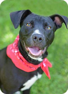 Labrador Retriever/American Staffordshire Terrier Mix Puppy for adoption in Glastonbury, Connecticut - Bob