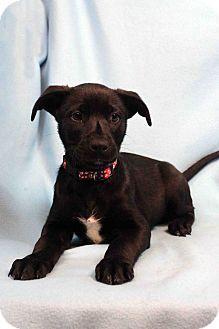 Labrador Retriever Mix Puppy for adoption in Westminster, Colorado - Gilliam