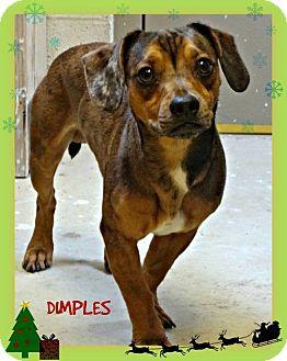 Dachshund Mix Dog for adoption in Benton, Arkansas - Dimples