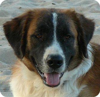 St. Bernard Dog for adoption in San Antonio, Texas - Magic