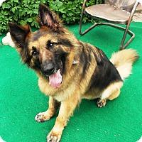 Adopt A Pet :: Samson - Evergreen Park, IL