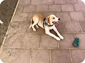Australian Shepherd/Labrador Retriever Mix Puppy for adoption in Mechanicsburg, Ohio - Monroe