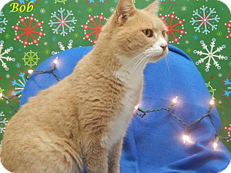 Domestic Shorthair Cat for adoption in Bucyrus, Ohio - Bob