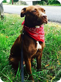 American Staffordshire Terrier Mix Dog for adoption in Lebanon, Maine - Hazel