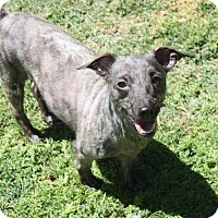 Terrier (Unknown Type, Small) Mix Dog for adoption in Henderson, Nevada - Hope