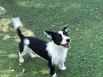 Jack Russell Terrier/Cardigan Welsh Corgi Mix Dog for adoption in Scottsdale, Arizona - Eddie
