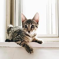 Adopt A Pet :: Foxy - New York, NY