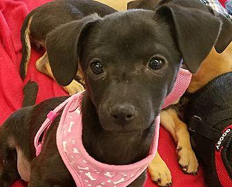 Dachshund/Miniature Pinscher Mix Puppy for adoption in Phoenix, Arizona - Leah