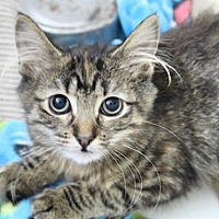 Adopt A Pet :: Sira the Kitten: So Much Fluff - Brooklyn, NY