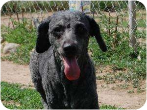 Poodle (Miniature) Mix Dog for adoption in Barron, Wisconsin - Curly