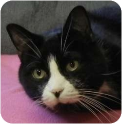 Domestic Shorthair Cat for adoption in Des Moines, Iowa - Benny