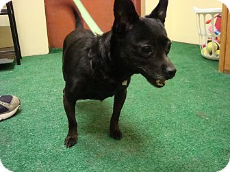 Chihuahua Mix Dog for adoption in Youngwood, Pennsylvania - Gigi