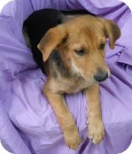 Shepherd (Unknown Type) Mix Puppy for adoption in Avon, New York - Lucas