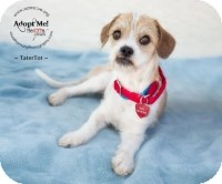 Terrier (Unknown Type, Small) Mix Dog for adoption in Phoenix, Arizona - TaterTot