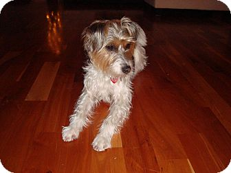 Parson Russell Terrier/Yorkie, Yorkshire Terrier Mix Dog for adoption in Montreal, Quebec - Fiona