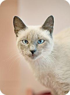 Siamese Cat for adoption in Carencro, Louisiana - Catalina