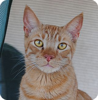 Domestic Shorthair Cat for adoption in Palmdale, California - Robb