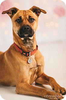 Boxer/Australian Cattle Dog Mix Dog for adoption in Portland, Oregon - Monkey Booger