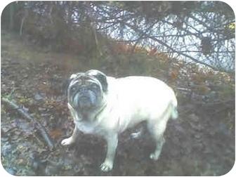 Pug Dog for adoption in Overland Park, Kansas - Lizzie