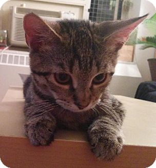 Domestic Mediumhair Cat for adoption in New York, New York - Camry
