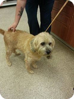 Wheaten Terrier Mix Dog for adoption in Mary Esther, Florida - Angel