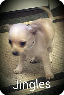 Chihuahua Mix Puppy for adoption in Glastonbury, Connecticut - Jingles