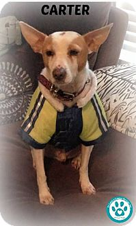 Jack Russell Terrier Mix Puppy for adoption in Kimberton, Pennsylvania - Carter