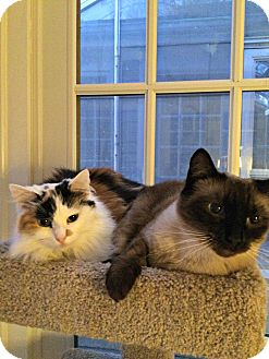 Calico Cat for adoption in Beverly, Massachusetts - JASMINE and LILY