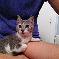 Domestic Shorthair Cat for adoption in Miami, Florida - Luna