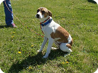 Jack Russell Terrier Mix Dog for adoption in Cameron, Missouri - SHELDON