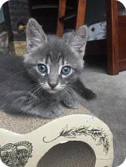 Domestic Shorthair Kitten for adoption in Mission Viejo, California - Oscar
