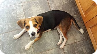 Beagle Mix Dog for adoption in WESTMINSTER, Maryland - Mabel
