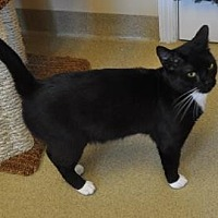 Domestic Shorthair/Domestic Shorthair Mix Cat for adoption in Pompano Beach, Florida - Jax