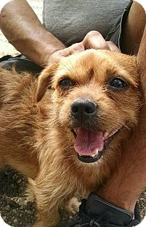 Border Terrier/Terrier (Unknown Type, Small) Mix Dog for adoption in Glocester, Rhode Island - Mookie