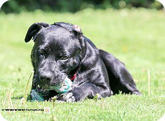 Labrador Retriever Mix Dog for adoption in Guelph, Ontario - Mickey