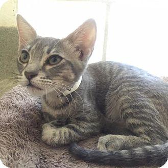 Domestic Shorthair Kitten for adoption in Westminster, California - Kona