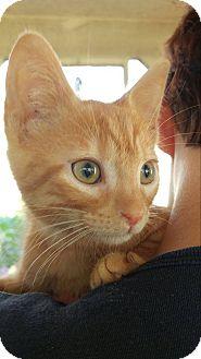 Domestic Shorthair Kitten for adoption in Clarkson, Kentucky - Ira