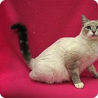 Siamese Cat for adoption in Redwood Falls, Minnesota - Jewel