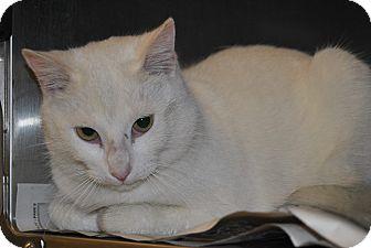 Domestic Shorthair Cat for adoption in Windsor, Virginia - Quartz