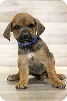 Spaniel (Unknown Type) Mix Puppy for adoption in Waldorf, Maryland - Kingara