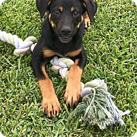Adopt A Pet :: SHELBY - Beaumont, TX