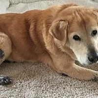 Golden Retriever Mix Dog for adoption in Naples, Florida - Jesse 646