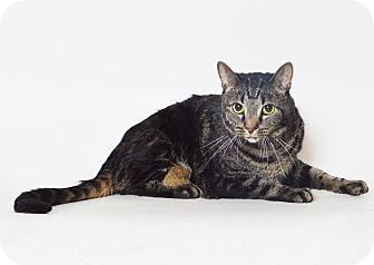Domestic Shorthair Cat for adoption in Fruit Heights, Utah - Lucia