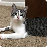 Domestic Shorthair Kitten for adoption in Monroe, North Carolina - Smokey