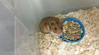 Hamster for adoption in Fall River, Massachusetts - Caroline